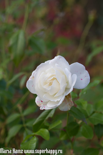 краски осени, роза